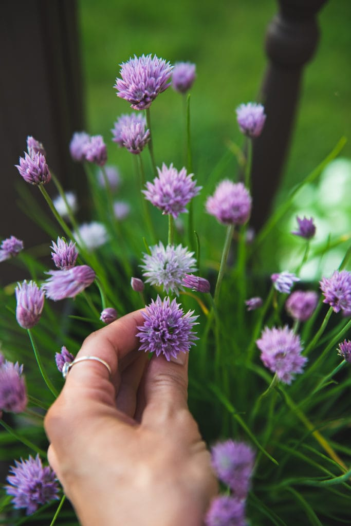 A hand pinching the tip of a chive sprout, showing the purple blossom.