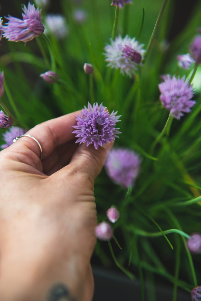 A purple chive blossom being pinched on the shoot, among a patch of blossoming chives.